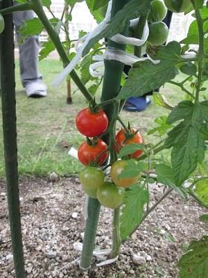 h27.6.tomato1.jpg