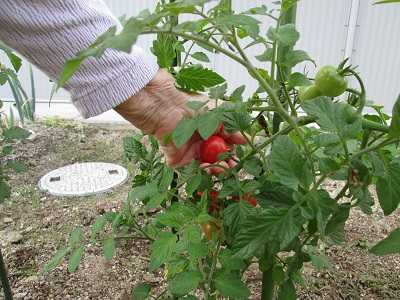 h27.6.tomato2.jpg